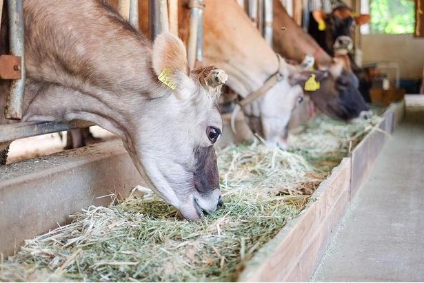【写真】濃厚なミルクを出してくれる「牧成舎」のジャージー牛 / 牧成舎
