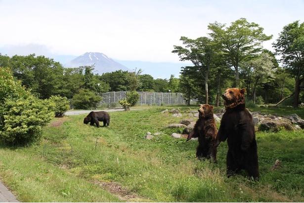 【写真】体長約2メートルにもなるヒグマ。奥には富士山も見える