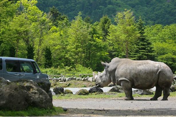 マイカーに乗ったまま、好きなペースで動物たちを見学できる