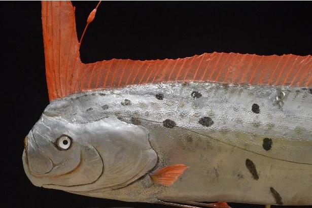 【写真】全長約3.8メートルのリュウグウノツカイの剥製