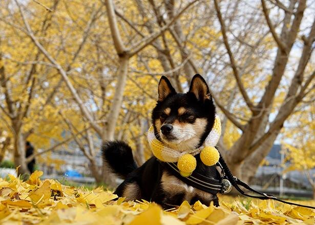 落ち葉と同じ、黄色のマフラーがオシャレ
