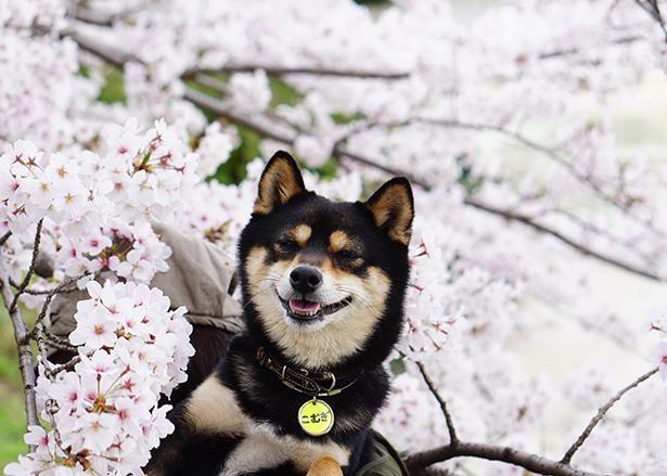 満開の桜に囲まれてご機嫌