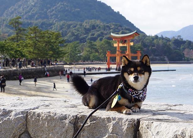 飼い主さんの実家がある広島県に帰省した時の一枚。写真は4歳のこむぎくんと宮島の大鳥居