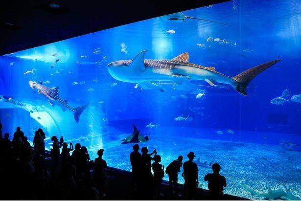 沖縄美ら海水族館のメイン水槽ともいえる「黒潮の海」
