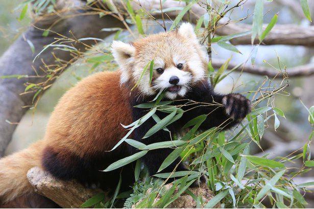 神戸どうぶつ王国の「アジアの森」で暮らすレッサーパンダ