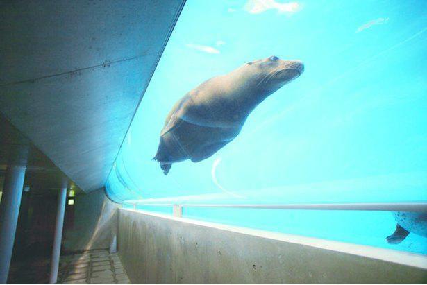 いろいろな角度からアシカが泳ぐ姿を観察できる「TUBE」