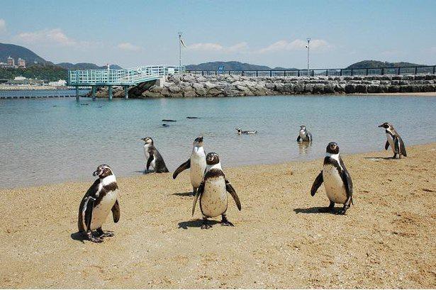 自然の海でペンギンを展示する「ふれあいペンギンビーチ」