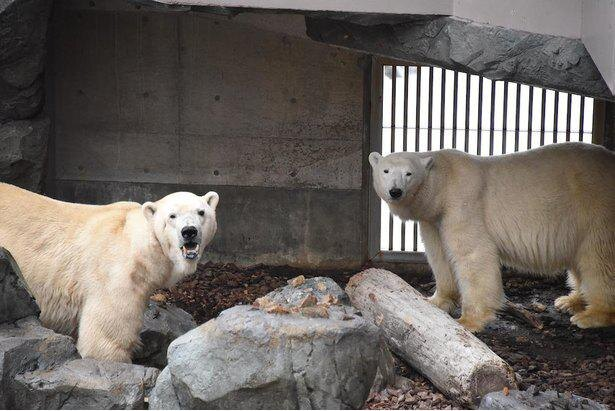 ホッキョクグマの豪太(ごうた、写真左)とユキ(同右)が水族館の人気者
