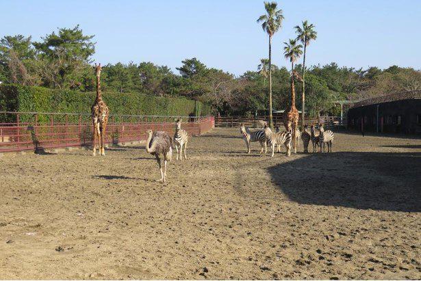 日本で最も古くから開始されたアフリカ園の混合飼育