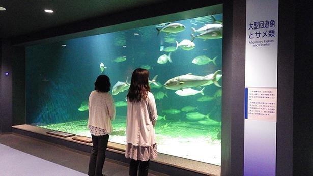 アジの仲間では世界最大となる、ロウニンアジなども展示する大水槽