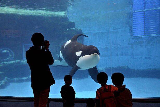 国内でシャチを生で見られるのは、ここ名古屋港水族館と鴨川シーワールドの2館のみ