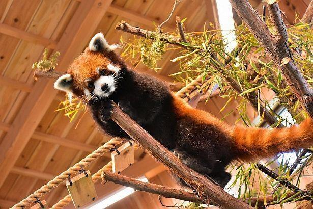 伊豆シャボテン動物公園で人気のレッサーパンダ