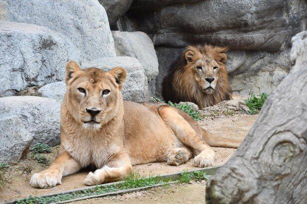 神戸市立王子動物園のライオンのラオ(オス)とサクラ(メス)。いつも一緒のおしどりカップル