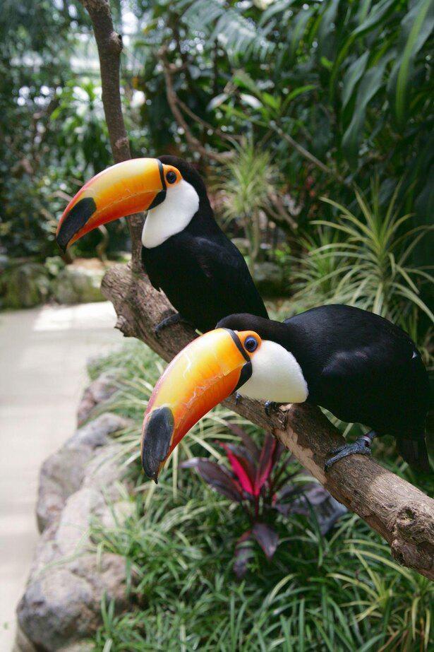 中央アメリカから南アメリカの熱帯雨林に分布しているオオハシ。とても賢く、芸を仕込むこともできる