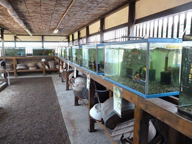 国内外の多種多様な金魚を見ることができる