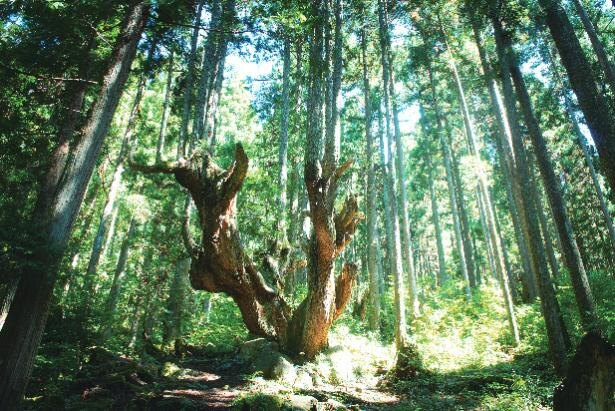 株杉(かぶすぎ)の森(岐阜県関市)