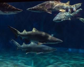 【コロナ対策情報付き】アクアワールド茨城県大洗水族館の楽しみ方!飼育種数日本一のサメや巨大水槽のマンボウが人気