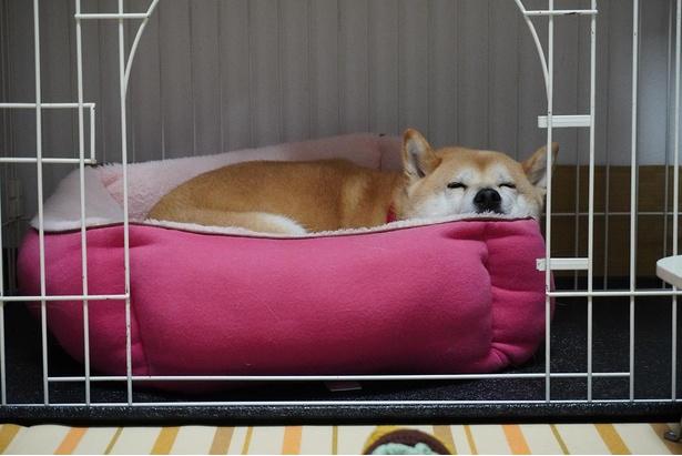 ケージでスヤスヤと寝る小春ちゃん。整うまで寝床をホジホジ、ちょっと几帳面な性格