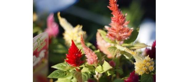 足柄のケイトウやバラなど色とりどりの花