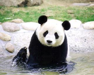 神戸・王子動物園のパンダのタンタンお別れ。悲劇乗り越えた20年