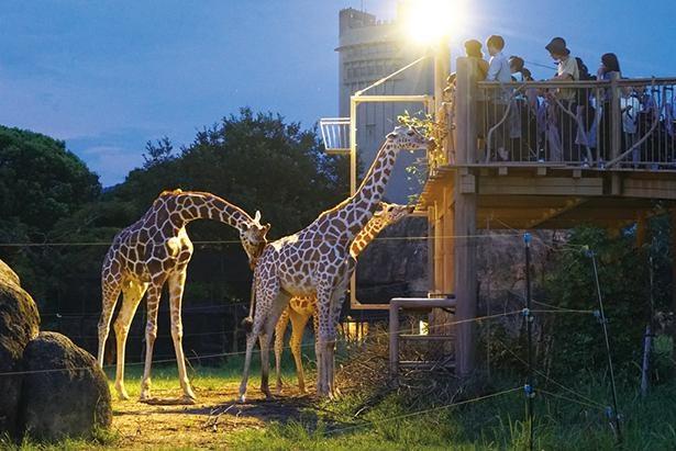 キリンやライオンなどの夜の様子を間近で観察しよう / 豊橋総合動植物公園 のんほいパーク