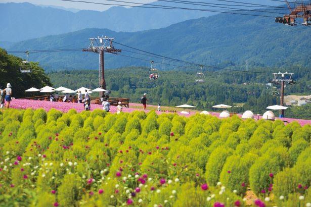 ゲレンデ山頂の「コキアの丘」では、緑のコキアと「桃色吐息」のコントラストが見事だ /「ひるがのピクニックガーデン」