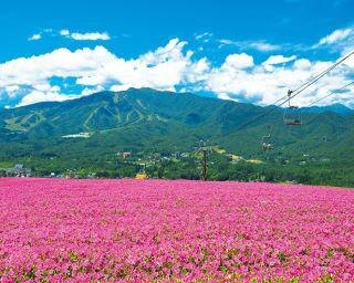 高原のペチュニア絶景に感動!日本最大級の花畑に出会う岐阜・郡上ドライブコース