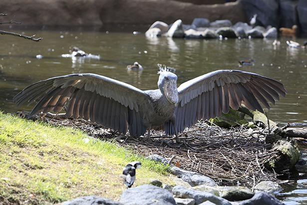 ハシビロコウの体長は110~140cmで、体重は4~7kg。羽を広げるとさらに迫力アップ