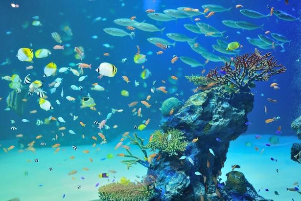 Dゾーン「輝くサンゴの海」で泳ぐナポレオンフィッシュ。小さな魚から大きな魚までいろいろ