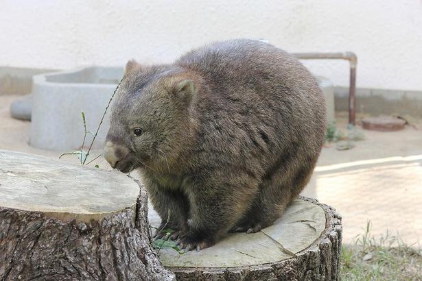 胴も太いが脚も太いラブリーな姿。見られるのは、関西では五月山動物園だけ!