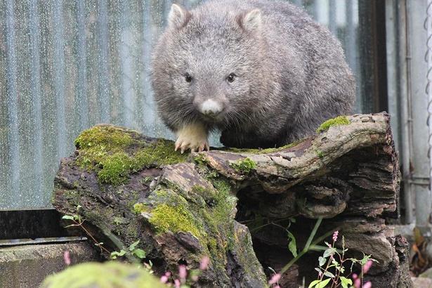 体長約85cm、体重約15~20Kgと人間の1~2歳児ぐらいの大きさ