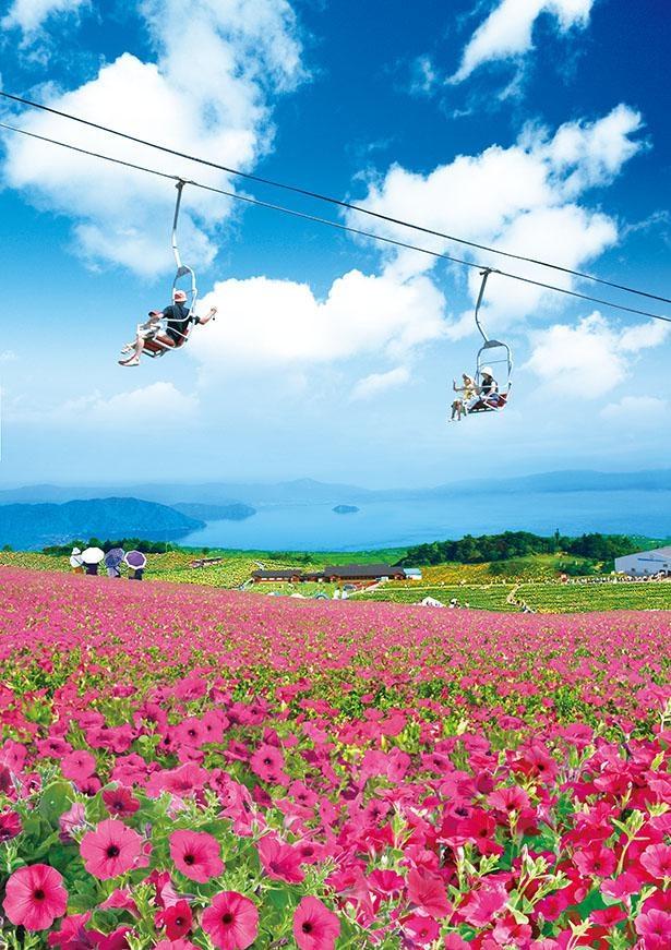 一面に広がるペチュニアを空中から眺めよう / びわこ箱館山