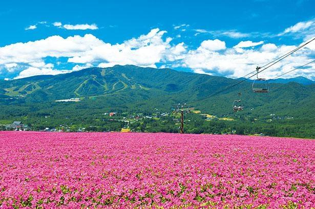 【写真】日本最大級のペチュニア畑は圧巻の美しさ / ひるがのピクニックガーデン