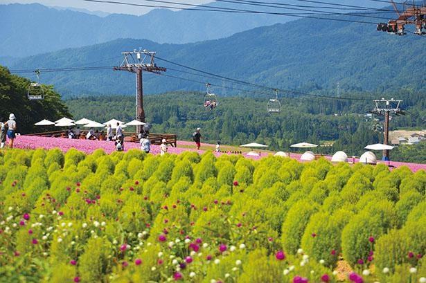 ゲレンデ山頂のコキアの丘では、緑のコキアと「桃色吐息」のコントラストが見事 / ひるがのピクニックガーデン
