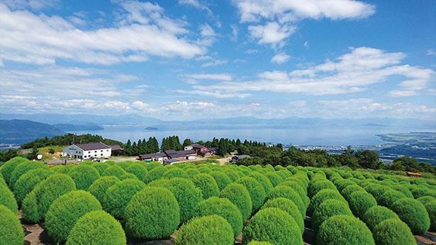 夏には鮮やかな緑、秋には紅葉するコキア / びわこ箱館山