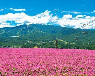 """高原で楽しむ花の絶景!東海エリアから行ける、今しか見れない""""花じゅうたん""""3選"""