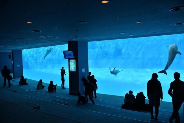 縦4メートル×横29メートルの巨大な水中観察窓から、イルカが水中を泳ぐ様子を見られる水中観覧席