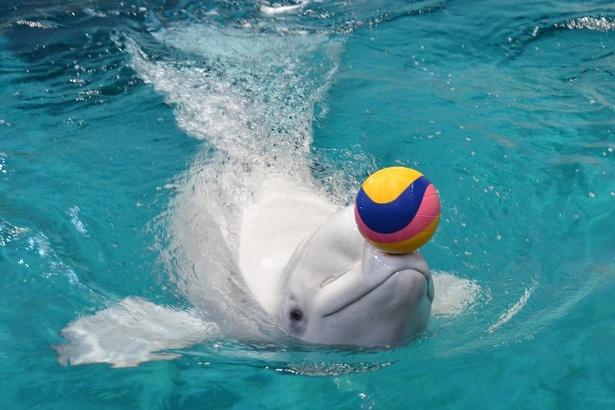 首を縦や横に大きく動かすことができたり、胸ビレを使ってバックで泳ぐことができたりと、イルカやシャチとは違った特徴を持ったベルーガ