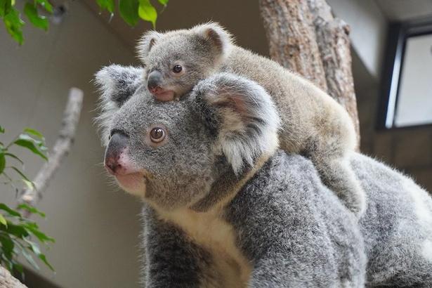 ティリーと赤ちゃん。おんぶというより頭に乗っけているのような…