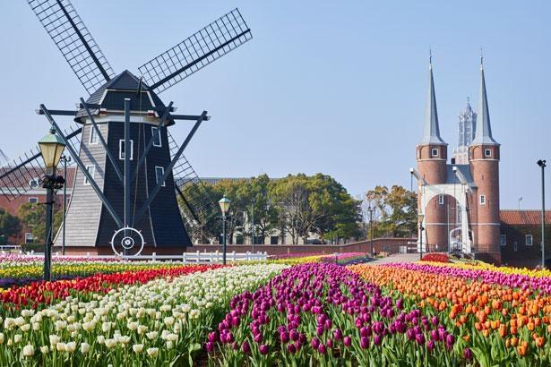 【写真】春の「チューリップ祭」の光景。風車を背景に色とりどりのチューリップが咲く