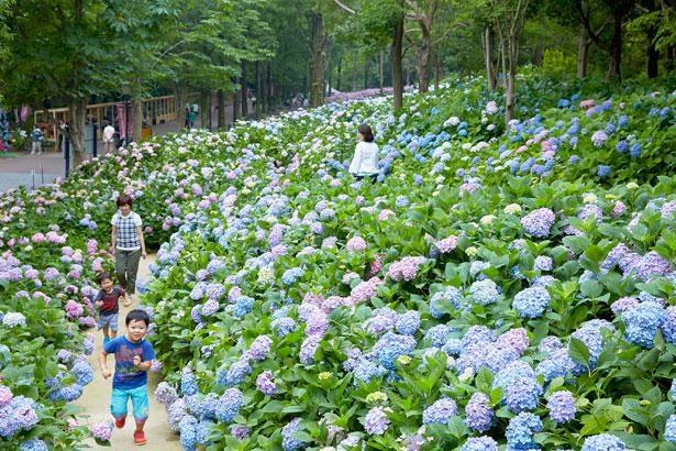 日本最多となる1250品種のあじさいが咲き誇る「あじさい祭」