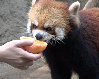 レッサーパンダに残暑見舞い!リンゴアイスをプレゼント