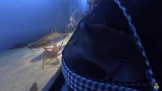 鳥羽水族館は、顔などが出ないペットケースやペットカートに入ってなら入館OK。目の前を横切る魚たちに興味津々のご様子