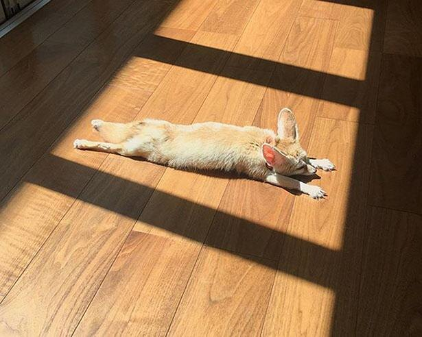 【写真】日向ぼっこが大好きなてつおくん。ビヨ~ンと伸びて寝るさまがキュート!