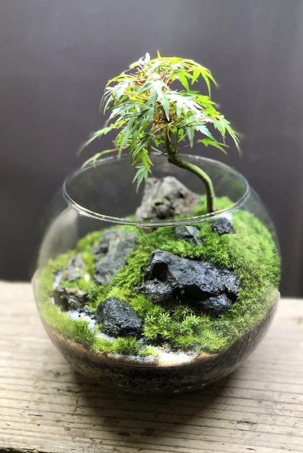 苔と盆栽を組み合わせた硝景シリーズが今田さんのお気に入り