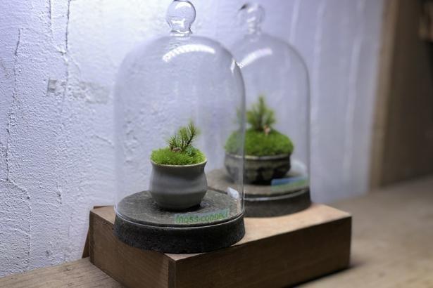 陶器に苔を植えた場合でも、ガラスの容器で覆えば湿度が管理できて育てやすい