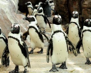 ペンギンの恋模様が泥沼化!?「京都ペンギン相関図2020」がヤバイ