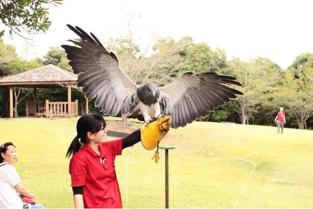 小動物や虫類を獲る大型のタカ「ワシノスリ」。鋭い爪で獲物に飛びかかる豪快な狩りが魅力的