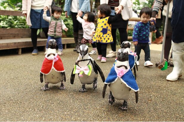 お尻をフリフリしながら散歩する姿がかわいらしいケープペンギンの「ペンギンの散歩」(毎日10時30分~、14時~。予告なく中止、変更になる場合あり)