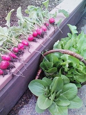 「ソラドファーム」で収穫された野菜たち